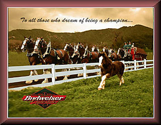 Budweiserclydesdale