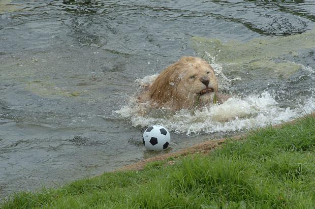 Lion-football_1561029i